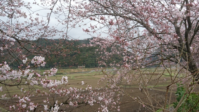JR山陰本線(嵯峨野線) 馬堀駅にも桜はやって来る