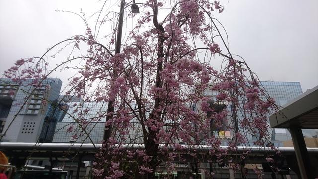 JR京都駅前にも桜