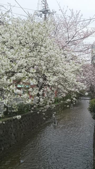 高瀬川・木屋町通・桜