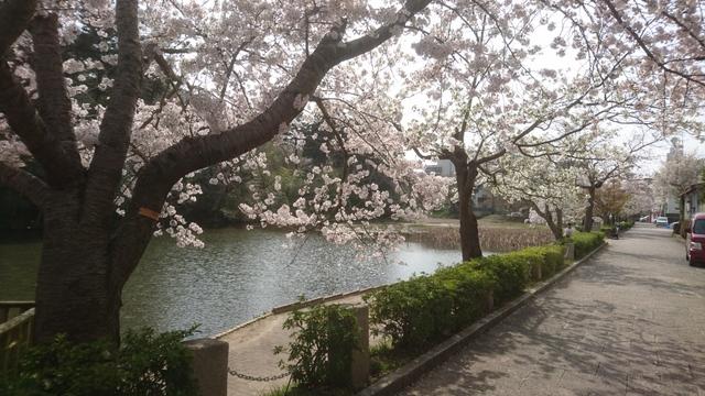 南郷公園~亀岡市(京都府)、満開の桜