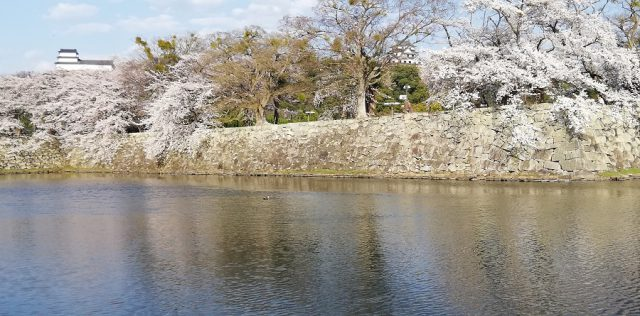 桜 満開の彦根城